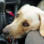 Cosa fare se il cane soffre di mal d'auto